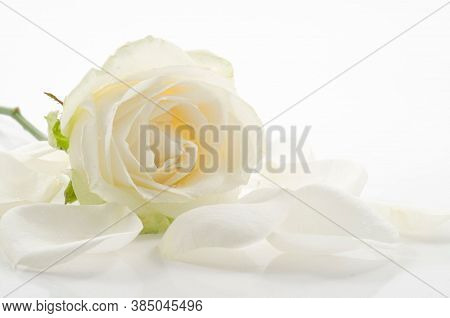 Rose Flower Background. Colorful Roses Flower. Roses Flower Bouquet. White Rose.