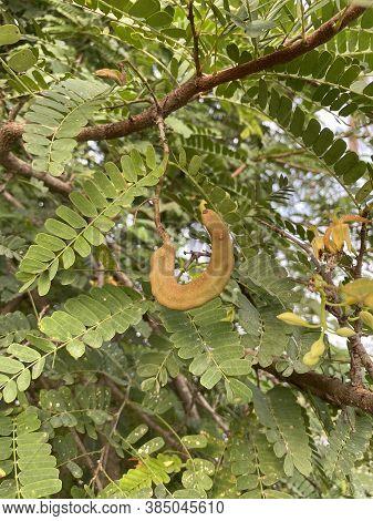 Close Up Tamarindus Indica Fruit In Nature Garden