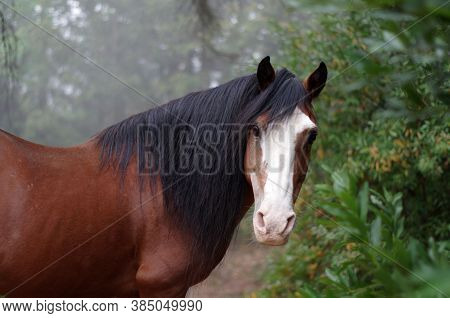 Wild American Mustang Horse Looking Alert With Ears Pricked In Foggy Woodlands