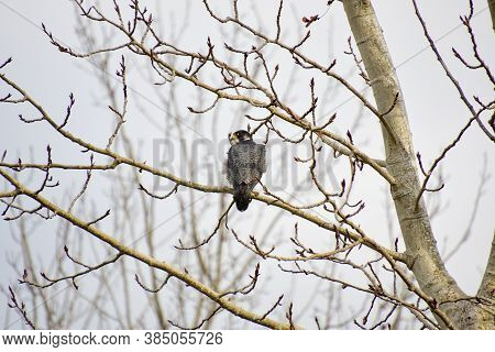 A Peregrine Falcon Perching On The Branch.  Vancouver Bc Canada