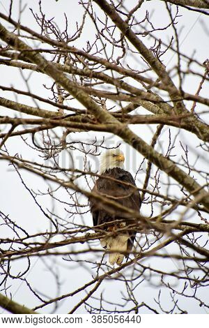 A Bald Eagle Perching On The Branch.  Vancouver Bc Canada