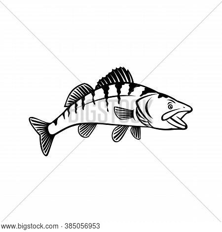 Stencil Illustration Of A Walleye, Yellow Pike Or Yellow Pickerel, A Freshwater Perciform Fish Nativ
