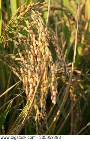 Close Up Of Golden Ear Of Rice Getting Ripe On Paddy Rice Field,north Italy.