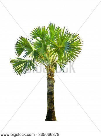 Palm Trees Isolate On White Background. With Clipping Path.