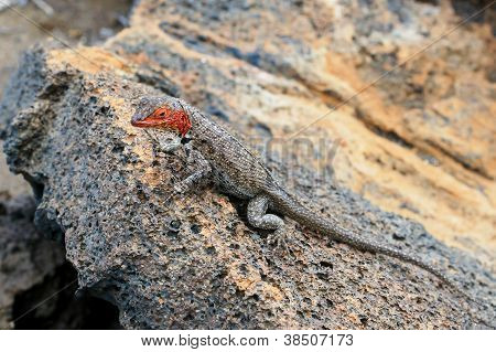 lava-lizard