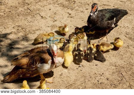 Mother Duck With Her Ducklings. There Are Many Ducklings Following The Mother.