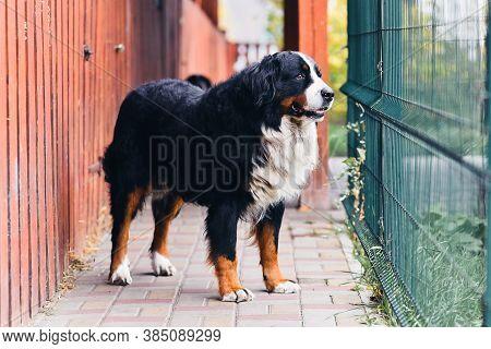 Berner Sennenhund Dog Guard Property. Pet Dog Near The Fence. Bernese Mountain Dog Portrait.