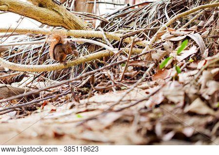 Cute Running Red-tailed Squirrel / Costa Rica / Cahuita