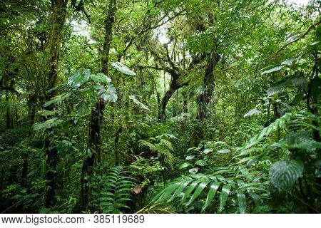 Trees In The Monteverde Cloud Forest, Costa Rica