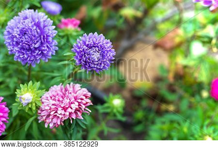 Astra Decorative Plant With Beautiful Inflorescences-baskets. Green Flower Background