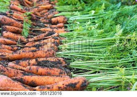 Freshly Harvested Carrots In Organic Vegetable Garden, Harvest At Fall