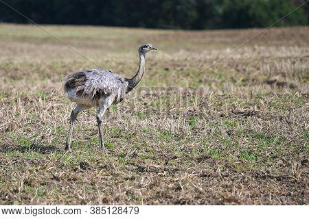 Nandu Or Greater Rhea (rhea Americana) Is Walking On A Stubble Field In Mecklenburg West Pomerania,
