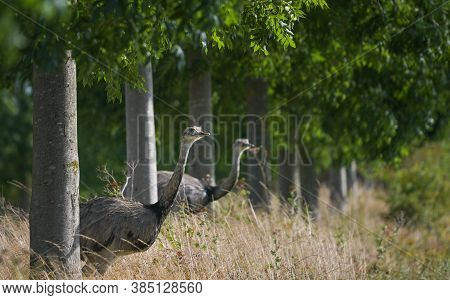 Two Nandus Or Greater Rhea (rhea Americana) Looking Through A Row Of Trees At A Field, Since 2000 A