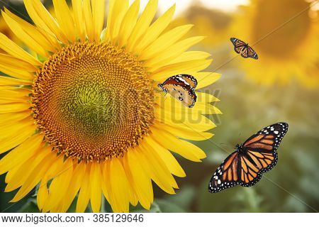 Beautiful Monarch And Plain Tiger Butterflies In Sunflower Field