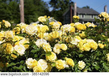 Yelllow Roses Within The Gardens Of Elizabeth Park In West Hartford Connecticut On A Sunny Summer Da
