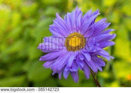 Aster Alpinus Purple Violet Flowers In Garden. Aster Alpinus Purple Violet Flowers In Bloom, Alpine