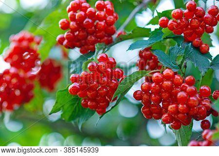 Berries Of European Cranberrybush Or Guelder Rose, Ripe Red Edible Berries Of Viburnum Opulus