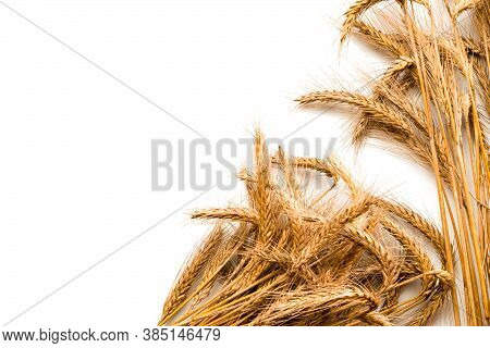 Spike View. Whole, Barley, Harvest Wheat Sprouts. Wheat Grain Ear Or Rye Spike Plant Isolated On Whi