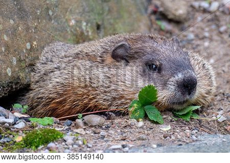 Close Portrait Of A Groundhog Getting Halfway Out Of His Burrow