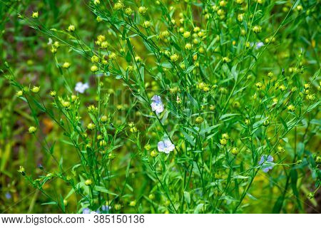 Botanical Collection Of Medicinal And Edible Plants, Flax Or Linum Usitatissimum Or Linseed, Food An
