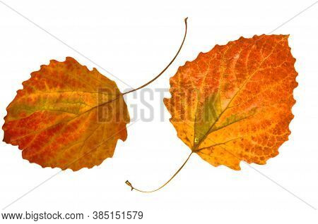 Two Colorful Bright Autumnal Leaves Of Aspen On A White Isolated Background.