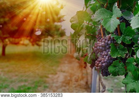 Vineyard With Ripe Grapes In The Countryside At Sunset