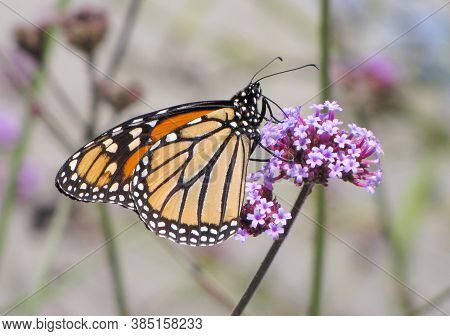 Monarch Butterfly Sitting On A Purple Flower