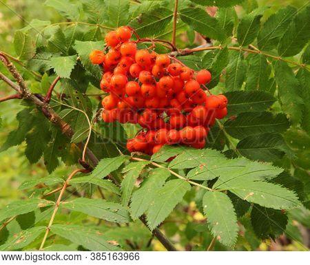 Cluster Of Orange Western Mountain Ash (sorbus Scopulina) Berries In Blue Mountains, Oregon