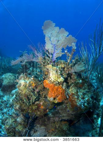 Orange Sponge growing on a Cayman Island Reef with Sea Fan in the Background poster