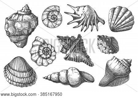 Seashell Sketch. Protective Hull Of Ocean Animal Illustration. Hand Drawn Bivalve Mollusk Shell Isol