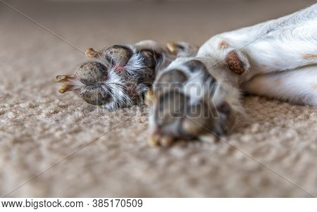 Close Up View Paw Prints. A Large Beagle Hound Mix Breed Dog Is Lying Down Resting Leaving The Botto