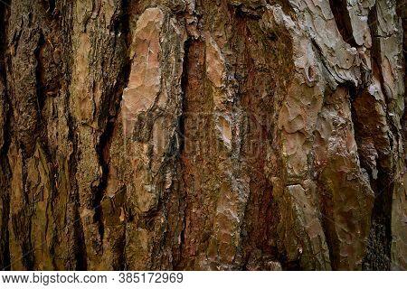 Wrinkly Bark Of Pinus Sylvestris. A Split Surface Of Pine Tree Rind With Streaks. A Textured, Streak