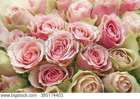 Pink Rose Flower. Pink Rose Close-up. Rose Flower In Nature. Colorful Roses Flower.