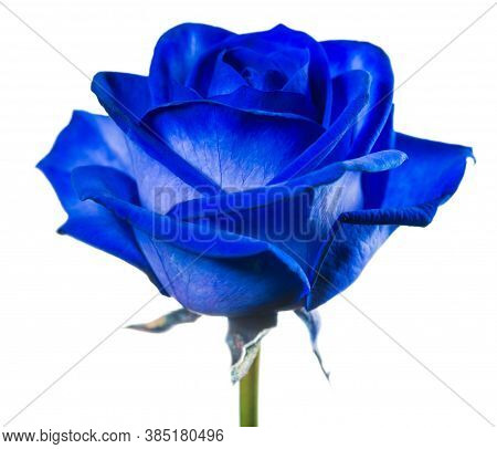 Blue Rose Flower. Blue Rose Close-up. Rose Flower In Nature. Colorful Roses Flower.