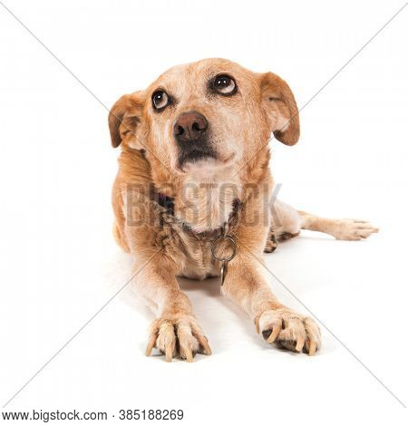 Old guilty dog laying at the floor isolated over white background