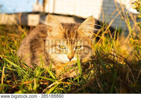 Small Tabby Gray Kitten Basking In The Sun Close-up.