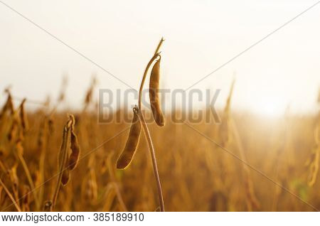 Ready For Harvest Ripe Soy Pods On Stem In The Fields Closeup View Against Sunlight Summer Time