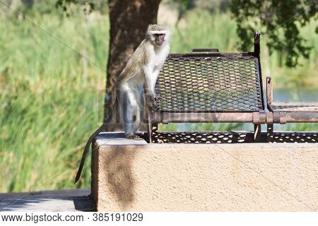 Funny Vervet Monkey (chlorocebus Pygerythrus) Standing At A Braai (bbq) Ready To Assist Visitors At
