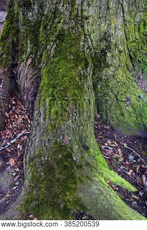 The Trunk And Roots Of A Large Tree Are Covered With Green Moss