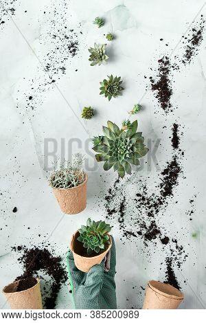 Seedling Pots, Planting Seedlings And Baby Plants Of Sempervivum Succulent Plants. Green Hands Creat