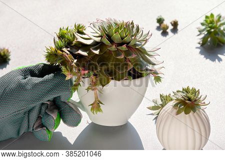 Planting Sempervivum Succulent Plants. Plant Nursery In Your Home. Mother Plant In Gloved Hand, Smal