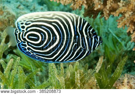 Juvenile Emperor Angel Fish Swimming In The Ocean With Anthia Fish Around