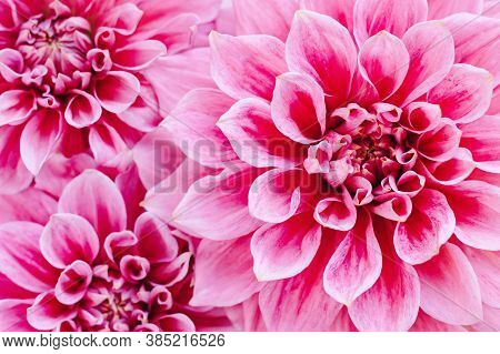 Amazing Dahlia Flowers On A Pink Pastel Background. Floral Background Or Wallpaper. Flat Lay. Close-