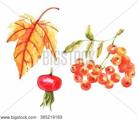 Watercolor Illustration Of Rowanberries Isolated On White Background.