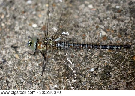 A Common Hawker Female Dragonfly Close To The End Of Her Transformation On A Household Pathway In Ru