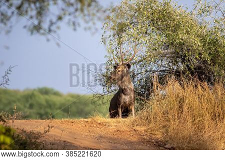 Male Sambar Deer Or Rusa Unicolor With Long Horn Or Stag In Natural Green And Blue Sky Background At