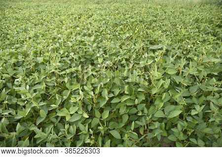 Rural Landscape With Fresh Green Soy Field.