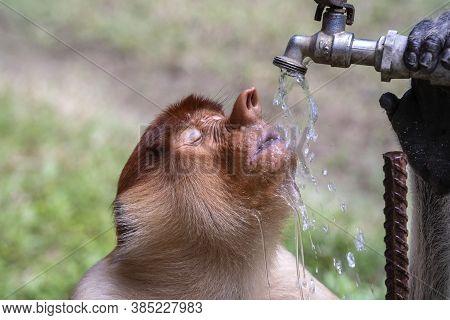 Wild Proboscis Monkey Or Nasalis Larvatus, Drinks Water Of Borneo, Malaysia
