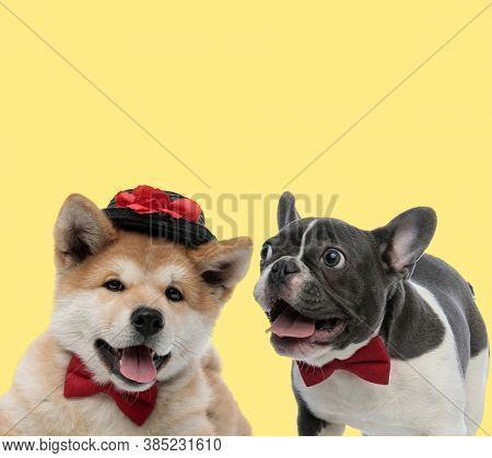 couple of akita inu and french bulldog dogs wearing red bowtie and hat sticking out tongue happy on yellow background
