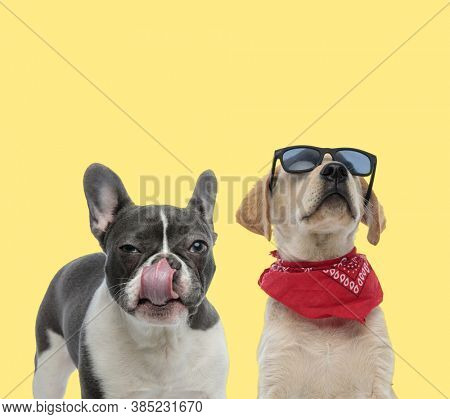 cute french bulldog dog licking mouth next to a labrador retriever wearing bandana and sunglasses cool on yellow background